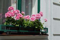 Dentelez les géraniums sur le windowsill Photographie stock
