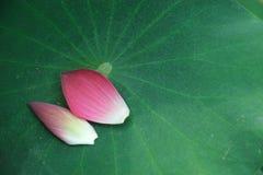 Dentelez les pétales de lotus Photos libres de droits