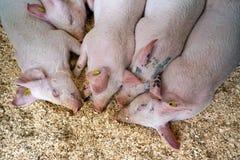 Dentelez les porcs Images libres de droits