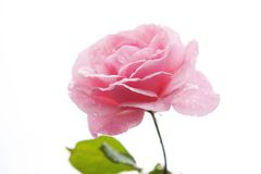 Dentelez les roses Image stock
