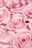 Dentelez les roses Photos libres de droits