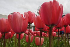 Dentelez les tulipes Photographie stock
