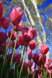 Dentelez les tulipes photos libres de droits