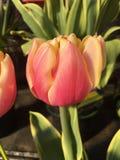 Dentelez les tulipes Photographie stock libre de droits