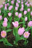Dentelez les tulipes Image libre de droits