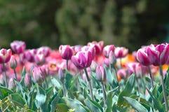 Dentelez les tulipes Photo libre de droits