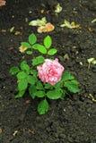 Dentelez rose avec des gouttelettes d'eau Photographie stock