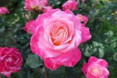 Dentelez très mais beau s'est levé, le jardin royal Photographie stock