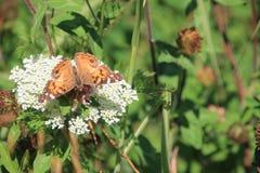 Dentelle et papillon de la Reine Anns Photographie stock