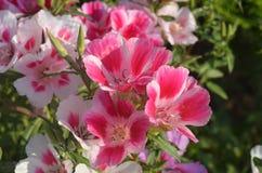 Dentelli con il godetia dei fiori bianchi sulla fine dell'aiola su Immagini Stock