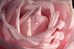 Dentelli di rosa Immagini Stock Libere da Diritti