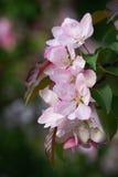 Dentelli i fiori del Apple Fotografia Stock Libera da Diritti