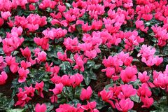 Dentelli i fiori del tulipano Fotografia Stock Libera da Diritti