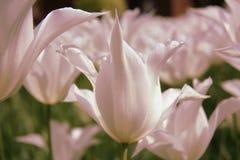 Dentelli i tulipani Fotografia Stock Libera da Diritti