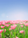 Dentelli i tulipani Fotografia Stock