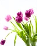 Dentelli i tulipani Immagine Stock Libera da Diritti