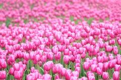 Dentelli i tulipani Immagini Stock