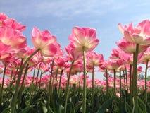 Dentelli i tulipani Immagini Stock Libere da Diritti