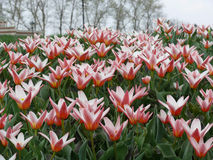 Dentelli i tulipani Immagine Stock