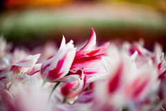 Dentelli i tulipani Fotografie Stock Libere da Diritti