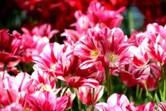 Dentelli i tulipani Fotografie Stock