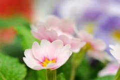 Dentelli il fiore fotografie stock