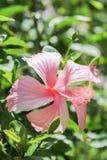 Dentelli il fiore dell'ibisco Fotografie Stock Libere da Diritti