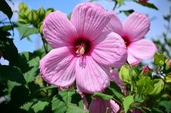 Dentelli il fiore dell'ibisco Fotografia Stock