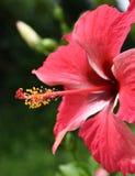 Dentelli il fiore dell'ibisco Immagine Stock Libera da Diritti
