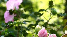 Dentelli il fiore dell'ibisco archivi video