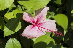 Dentelli il fiore dell'ibisco Fotografie Stock