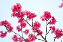Dentelli il fiore di ciliegia Immagine Stock