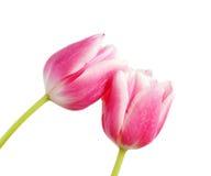 Dentelli il tulipano Fotografia Stock