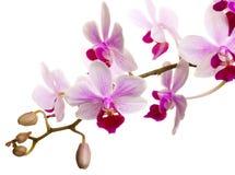 Dentelli l'orchidea Fotografie Stock