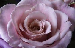 Dentelli la macro di rosa Immagine Stock
