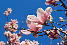 Dentelli la magnolia Immagini Stock
