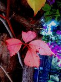 Dentelli le foglie Fotografia Stock