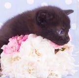 Dentelli una rosa bianca con il gattino sveglio Immagine Stock Libera da Diritti