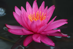 Dentelli Waterlily Fotografia Stock