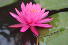 Dentelli Waterlily Immagine Stock