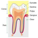 Dentes ilustração do vetor