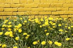 Dentes-de-leão amarelos Imagens de Stock