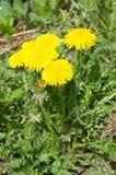 Dentes-de-leão amarelos Imagem de Stock Royalty Free