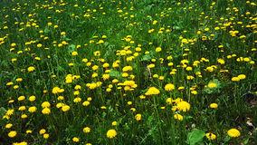 Dentes-de-leão amarelos em um campo Imagem de Stock Royalty Free