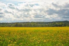 Dentes-de-leão amarelos em um campo sob um céu nebuloso fotos de stock royalty free