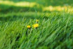 Dentes-de-leão amarelos na grama verde Fotos de Stock Royalty Free
