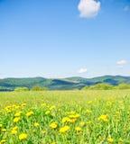 Dentes-de-leão amarelos nas montanhas Fotografia de Stock