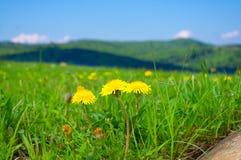 Dentes-de-leão amarelos nas montanhas na mola Foto de Stock Royalty Free