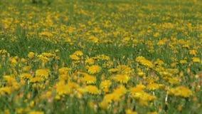 Dentes-de-leão amarelos no close up verde do campo na mola video estoque