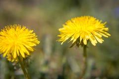 Dentes-de-leão amarelos, no fundo da grama verde Dentes-de-leão brilhantes da flor Fotografia de Stock